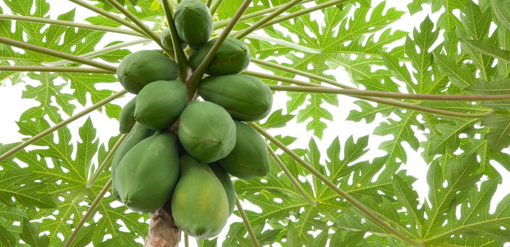 benefits-of-papaya-papaya-leaves-green-papayas