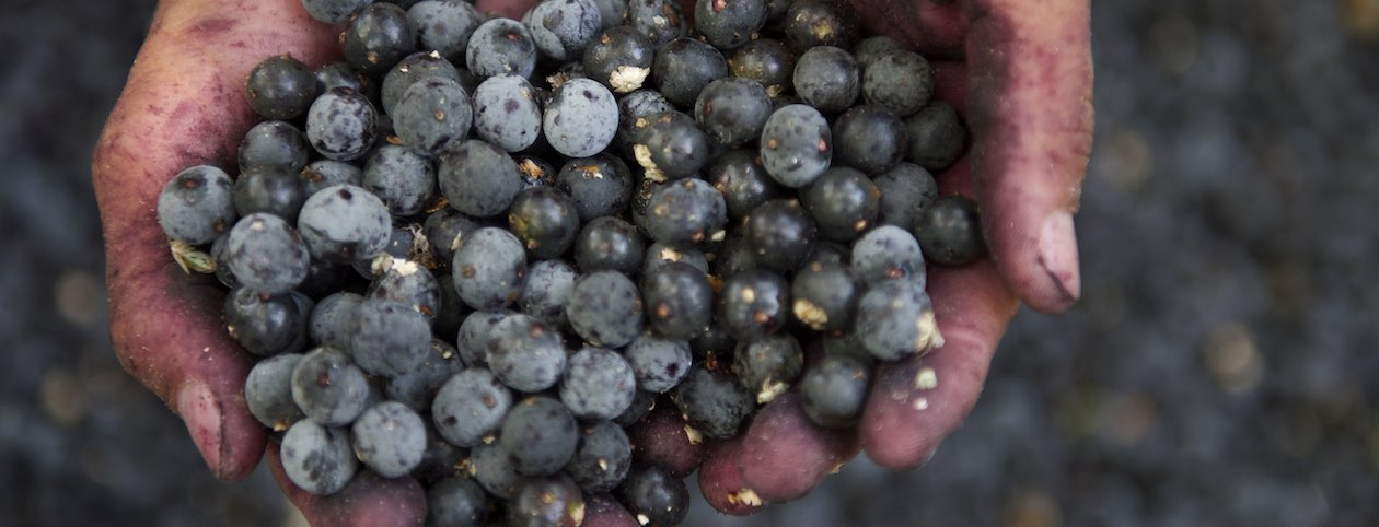 Hands holding acai berries for diet