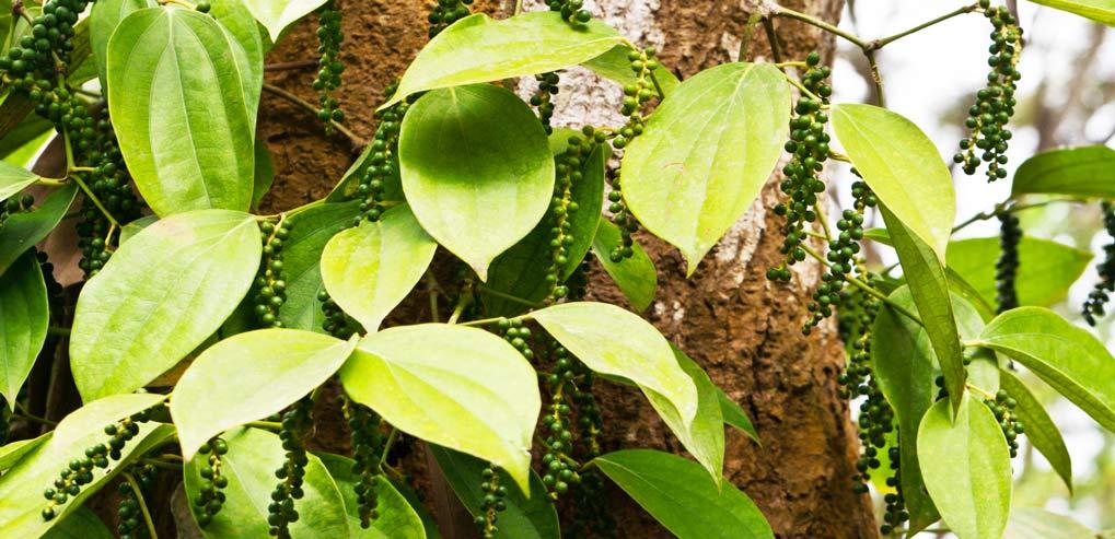 health-benefits-of-black-pepper-pepper-plant