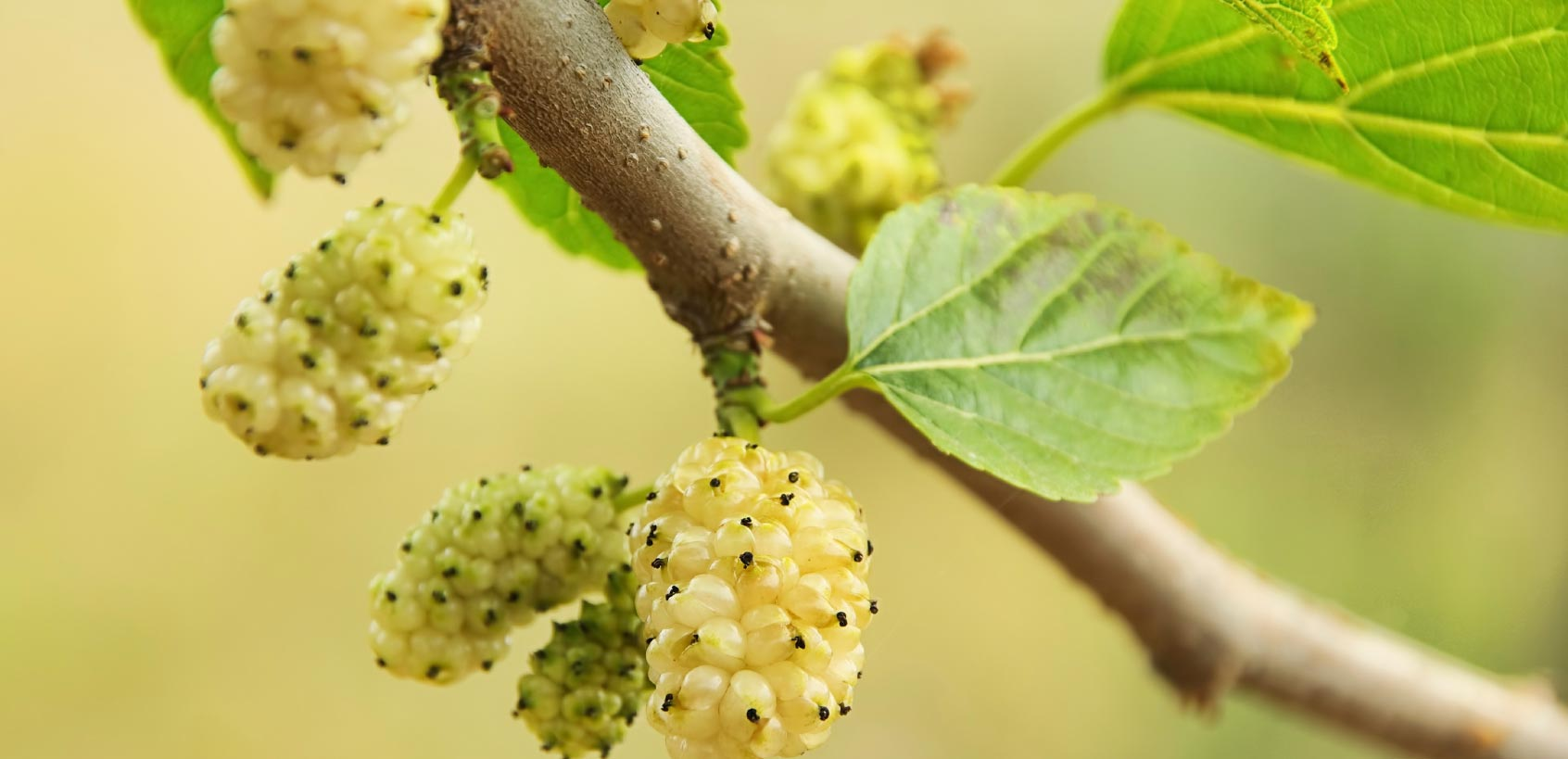 white-mulberry-tea-benefits-fresh-mulberries-leaves